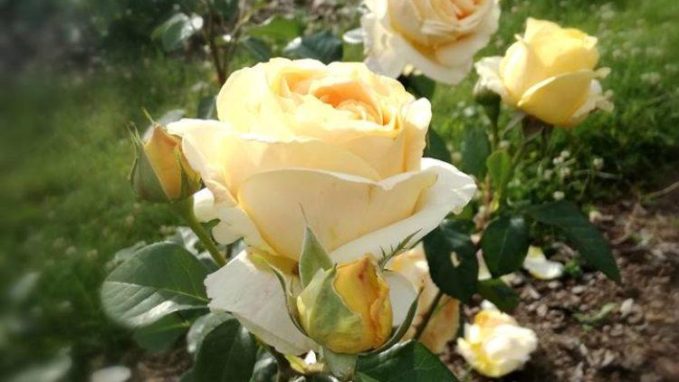 Masaż różany