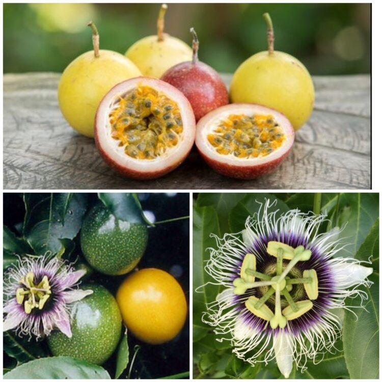 Urzekająca passiflora