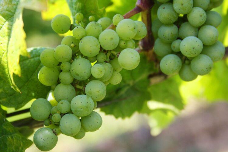 Winogronowe Spełnienie